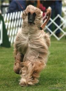 Dog Show Afghan